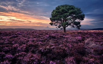 flowers, nature, tree, sunset, landscape, field