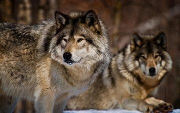морда, взгляд, хищники, волки, michael cummings