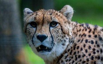 морда, взгляд, хищник, гепард