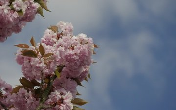 небо, ветка, цветение, весна, вишня, розовые цветы
