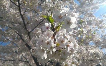 дерево, цветение, ветки, весна, вишня, белые цветы