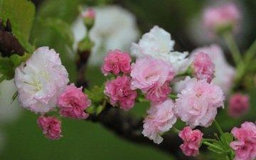 flowers, flowering, spring, cherry, water drops