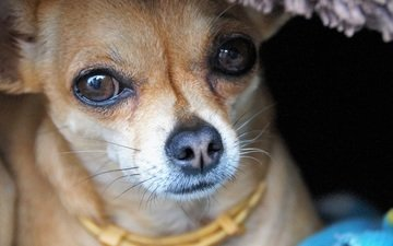 глаза, мордочка, взгляд, собака, чихуахуа