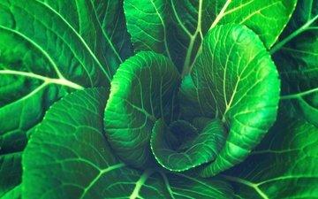 листья, овощи, капуста