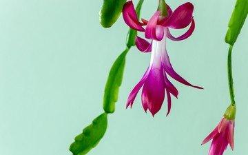 цветы, макро, кактус, christmas cactus