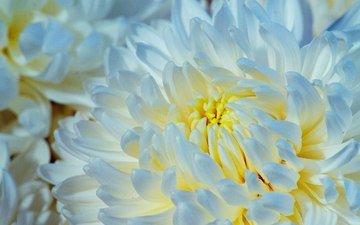 макро, цветок, лепестки, хризантема