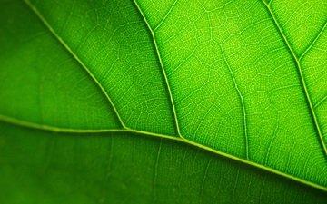 sheet, veins, green leaf, closeup