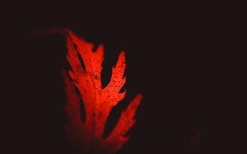 sheet, black background, closeup, red leaf