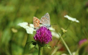 цветы, клевер, насекомые, бабочки