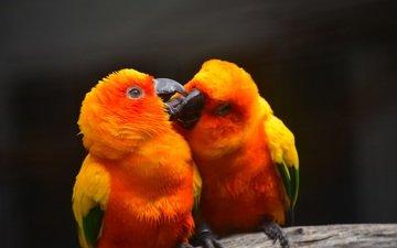 фон, птицы, клюв, пара, перья, поцелуй, попугаи