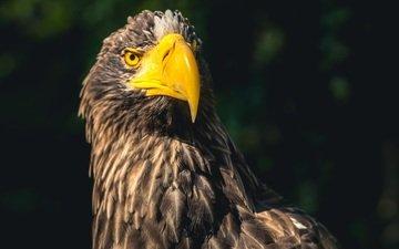 фон, орел, хищник, птица, клюв, перья