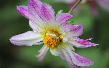 макро, насекомое, цветок, лепестки, георгин