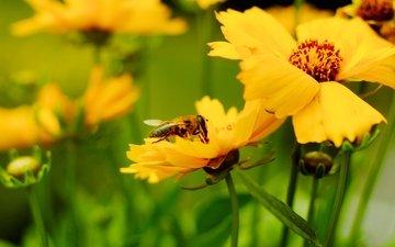 насекомое, лепестки, размытость, пчела, желтые цветы