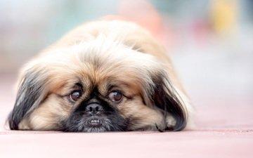 глаза, мордочка, взгляд, собака, пекинес