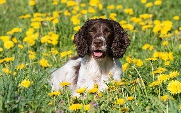 цветы, трава, собака, луг, одуванчики, спаниель, английский спрингер-спаниель