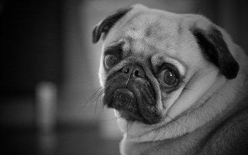 глаза, мордочка, взгляд, чёрно-белое, собака, мопс