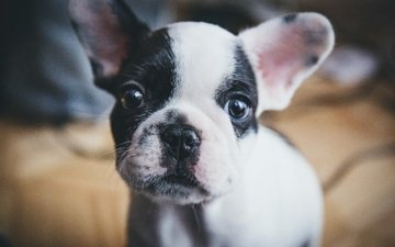 muzzle, look, dog, puppy, french bulldog