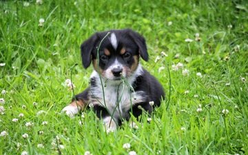 flowers, grass, clover, dog, meadow, puppy