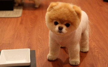 muzzle, look, dog, puppy, spitz, pomeranian