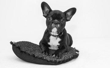 мордочка, взгляд, чёрно-белое, собака, сердце, щенок, подушка, французский бульдог