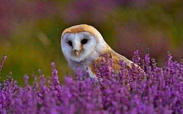 цветы, трава, сова, природа, поле, птица, вереск, сипуха