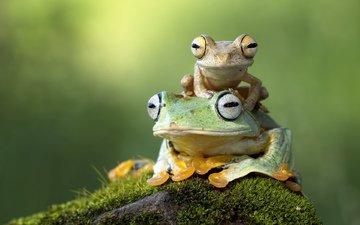 глаза, камень, мох, жабы, лапки, лягушки, амфибия