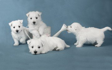 look, puppies, dogs, faces, lake, the west highland white terrier