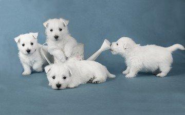 взгляд, щенки, собаки, мордочки, лейка, вест-хайленд-уайт-терьер