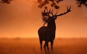 природа, олень, животное, рога, солнечный свет