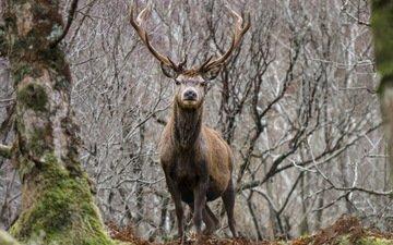 деревья, природа, лес, олень, ветки, мох, животное, рога