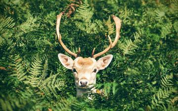 природа, олень, листва, животное, рога, папоротник