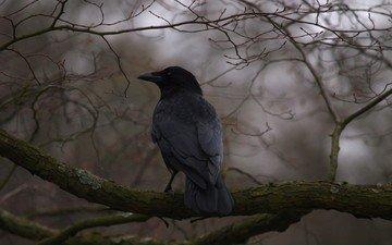 дерево, ветки, птица, клюв, перья, ворон, ворона