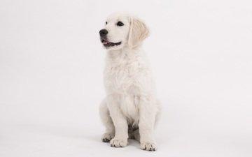 мордочка, взгляд, собака, щенок, ретривер, золотистый ретривер