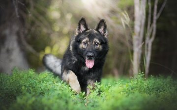 plants, muzzle, look, dog, language, running, german shepherd