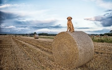 the sky, clouds, landscape, field, hay, dog, straw