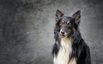 muzzle, look, dog, collie