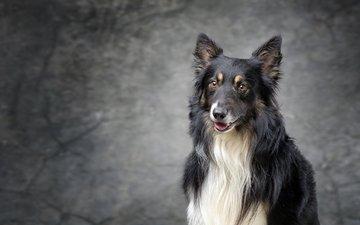 мордочка, взгляд, собака, колли