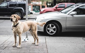 город, взгляд, собака, улица, ошейник, автомобили