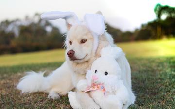 трава, мордочка, взгляд, собака, игрушка, заяц, швейцарская белая овчарка, белая швейцарская