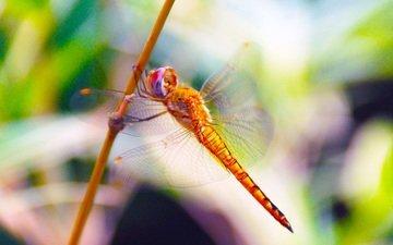 макро, насекомое, крылья, размытость, стрекоза