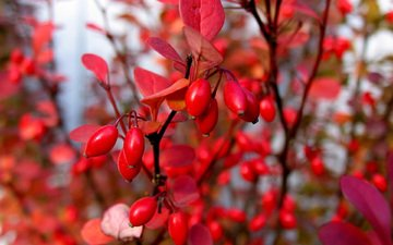 leaves, macro, branches, autumn, berries, bush, barberry