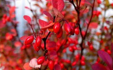 листья, макро, ветки, осень, ягоды, куст, барбарис