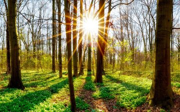trees, the sun, nature, plants, forest, trunks
