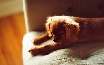 мордочка, лапы, собака, лежит, щенок, диван