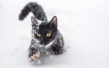 снег, зима, кот, мордочка, усы, кошка, взгляд, желтые глаза, tod stevenson
