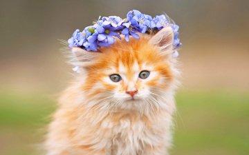 цветы, кот, мордочка, усы, кошка, взгляд, рыжий, венок