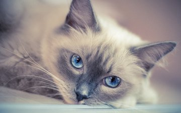 cat, muzzle, mustache, look, blue eyes