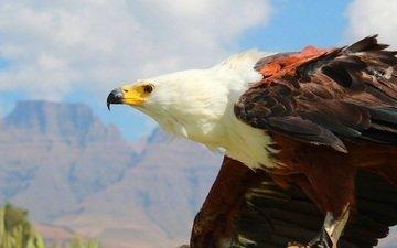орел, хищник, птица, клюв, перья, белоголовый орлан
