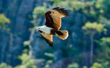 деревья, фон, полет, крылья, орел, хищник, птица
