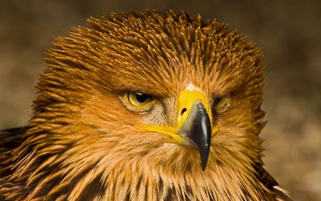 портрет, взгляд, орел, хищник, птица, клюв, перья